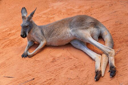 An adult kangaroo laying down and relaxing on the ground