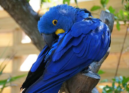 Close up of a blue Hyacinth macaw cleaning its feathers