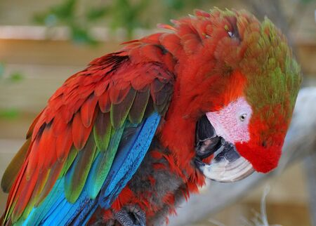 A beautiful scarlet Macau parrot cleaning its feathers Stock Photo