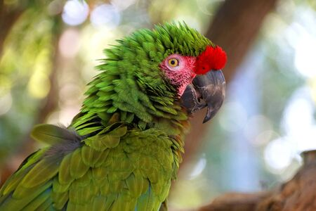 Close up of a beautiful green and red Amazon parrot