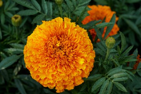 Beautiful African Marigold Deep Orange flower, a deer resistant plant Stock Photo