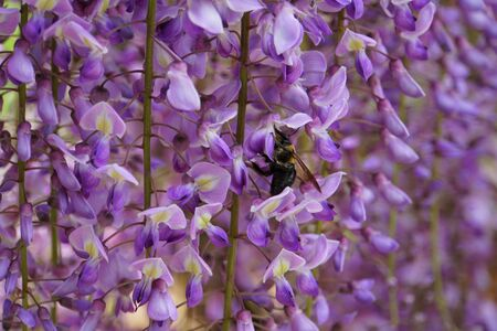 A bee pollinating purple wisteria flowers