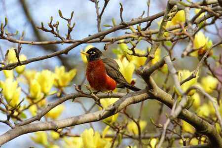 A robin sitting around yellow magnolia flowers