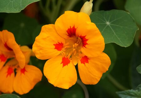 Yellow and red color of a nasturtium flower Stockfoto
