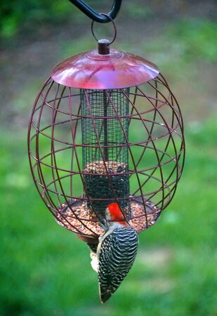 A red-bellied woodpecker eating seeds on the metal bird feeder