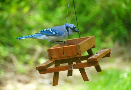 A beautiful blue jay eating seeds on the wooden picnic table bird feeder