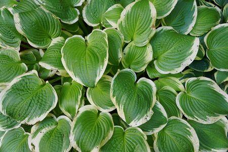 Beautiful leaves of green and white hostas, a perennial plant Фото со стока