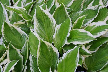 Beautiful leaves of white and green hostas plant Фото со стока