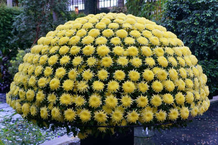 Beautiful yellow chrysanthemum flowers arranged as a shape of the canopy