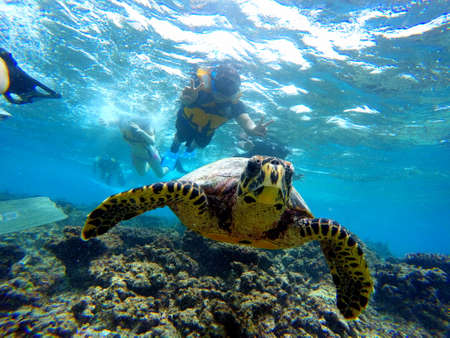Male, Maldives - January 10, 2017 - Swimming with a turtle in a clear blue ocean Editorial
