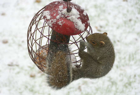 A squirrel trying to steal seeds from a metal bird feeder in the winter