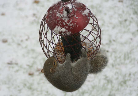 A squirrel trying to steal seeds from a bird feeder in the winter