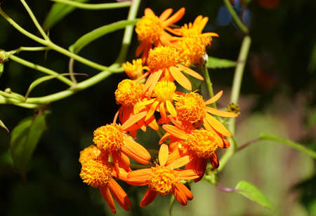 The orange color of Mexican Flame vine flowers