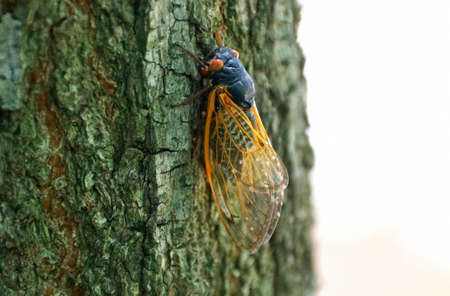 A cicadas with red wings on the tree branch Foto de archivo