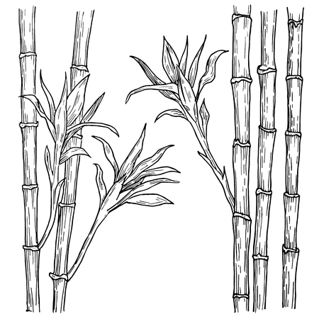 Bamboo stalk and leaves hand drawn. Vector engraved style illustration, isolated on white background.