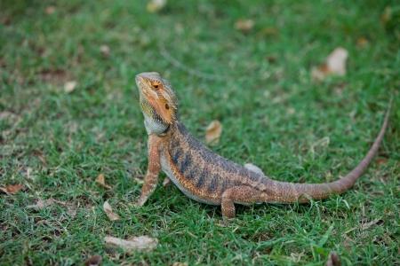 bearded dragon lizard: Bearded Dragon Lizard in grass  Stock Photo