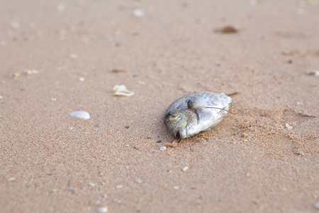 Dead fish on the beach with fly. photo