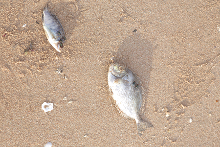 ashore: Carcasses of dead fish on the beach