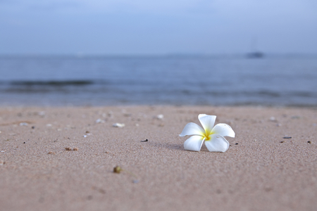 Plumeria flower on the beach photo