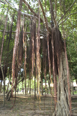 Tree roots detail, tropical climate