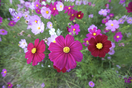 perennial plant: Cosmos (Cosmos bipinnatus) is an annual and perennial plant in the family Asteraceae, native to scrub and meadow areas in Americas. They are herbaceous perennial plants. Stock Photo
