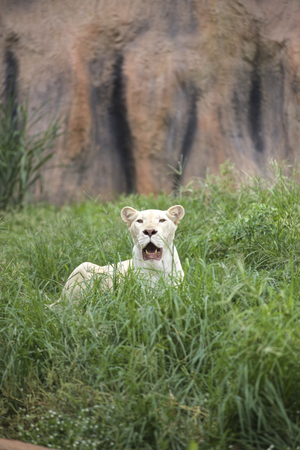 species living: Female white lion staring in the zoo in Thailand.