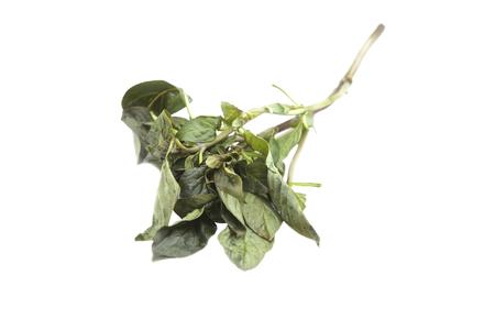 raíz de planta: Hojas de albahaca se pudren en un fondo blanco.