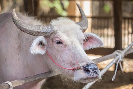 pink body of albino asian white buffalo in farm in Thailand