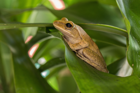 Frogs nest on green leaves in the garden. Stock Photo
