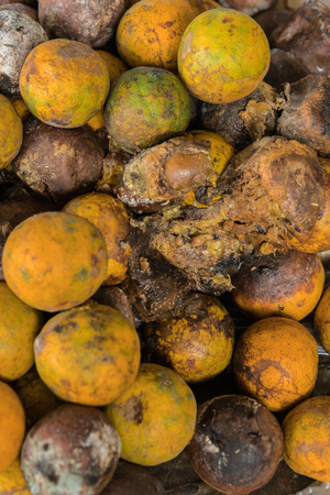 spoilage: Rotten and fresh tangerine fruit with mold.