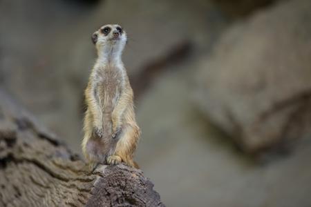 Watchful meerkats standing guard in zoo