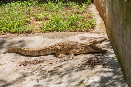 Crocodile is sunbathing