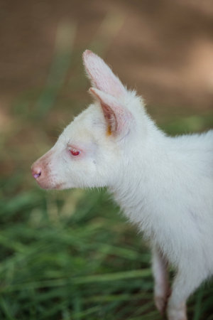 Albino Bennetts Wallaby stand in the garden Stock Photo