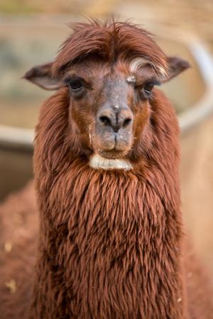Brown Alpaca Stock Photo