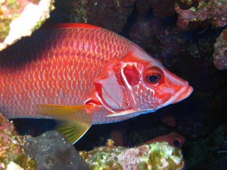 Giant squirrelfish hiding in a small cave in the Red sea photo