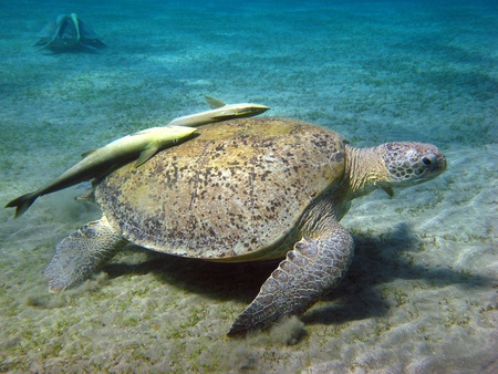 Two huge green sea turtles searching for food on the sandy sea bottom at Abu Dabbab in the Red sea photo