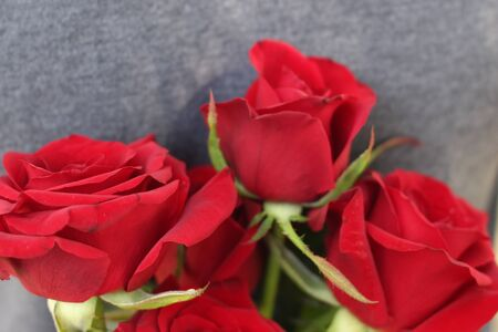 Spring flowers, plants, red rose. Women's holiday. Beautiful stylish red flower.