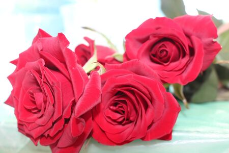 Spring flowers, plants, red rose. Women's holiday. Beautiful stylish red flower. Archivio Fotografico - 141396349