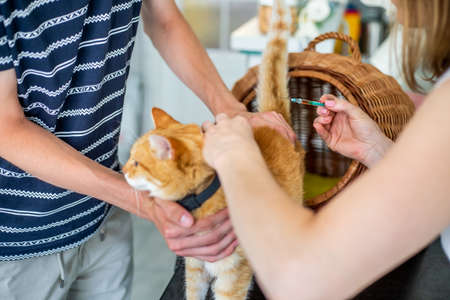 Basic vaccination of a cat in a vet clinic, veterinary concept 版權商用圖片