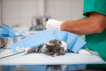 Neutering or surgery a cat in veterinary clinic, vet concept