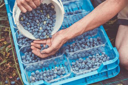 在蓝莓农场采摘新鲜蓝莓的采摘者,食物概念
