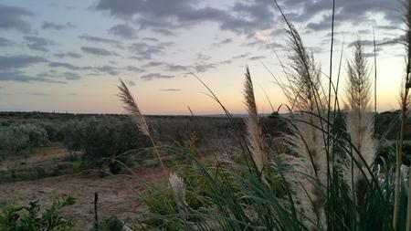 pampas: pampas grass sunset at the lands
