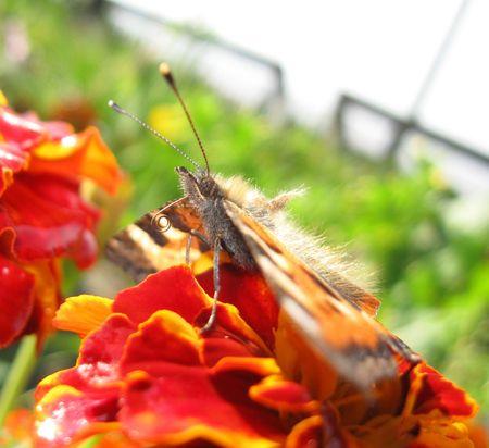 proboscis: Aglais urticae on flower with spiral proboscis.