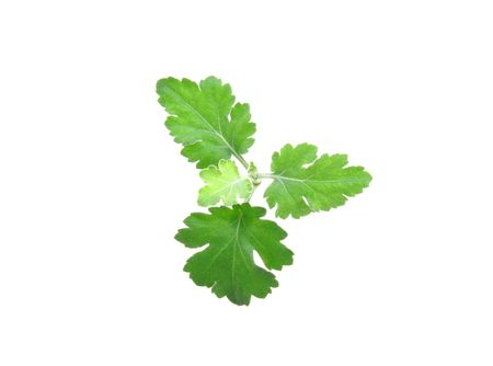 Young, green sheet of the Chrysanthemum on white background. photo