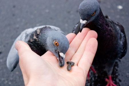 forage: Hand nominating pigeons forage for food to survive. Stock Photo