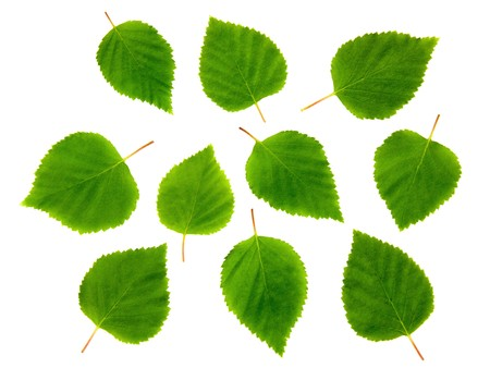 Ten birch leaves. Stock Photo