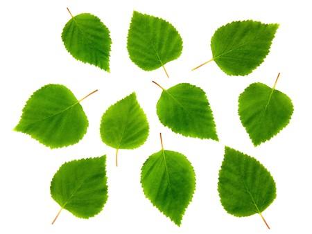 Ten birch leaves. Standard-Bild