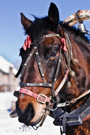 horse collar: horse under the collar in the winter outdoors. Stock Photo