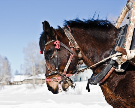 horse under the collar in the winter outdoors. photo