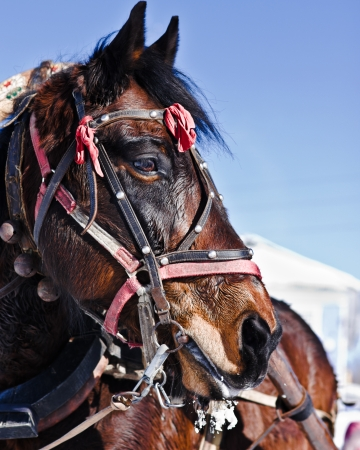 horse collar: horse under the collar in the winter outdoors  Stock Photo